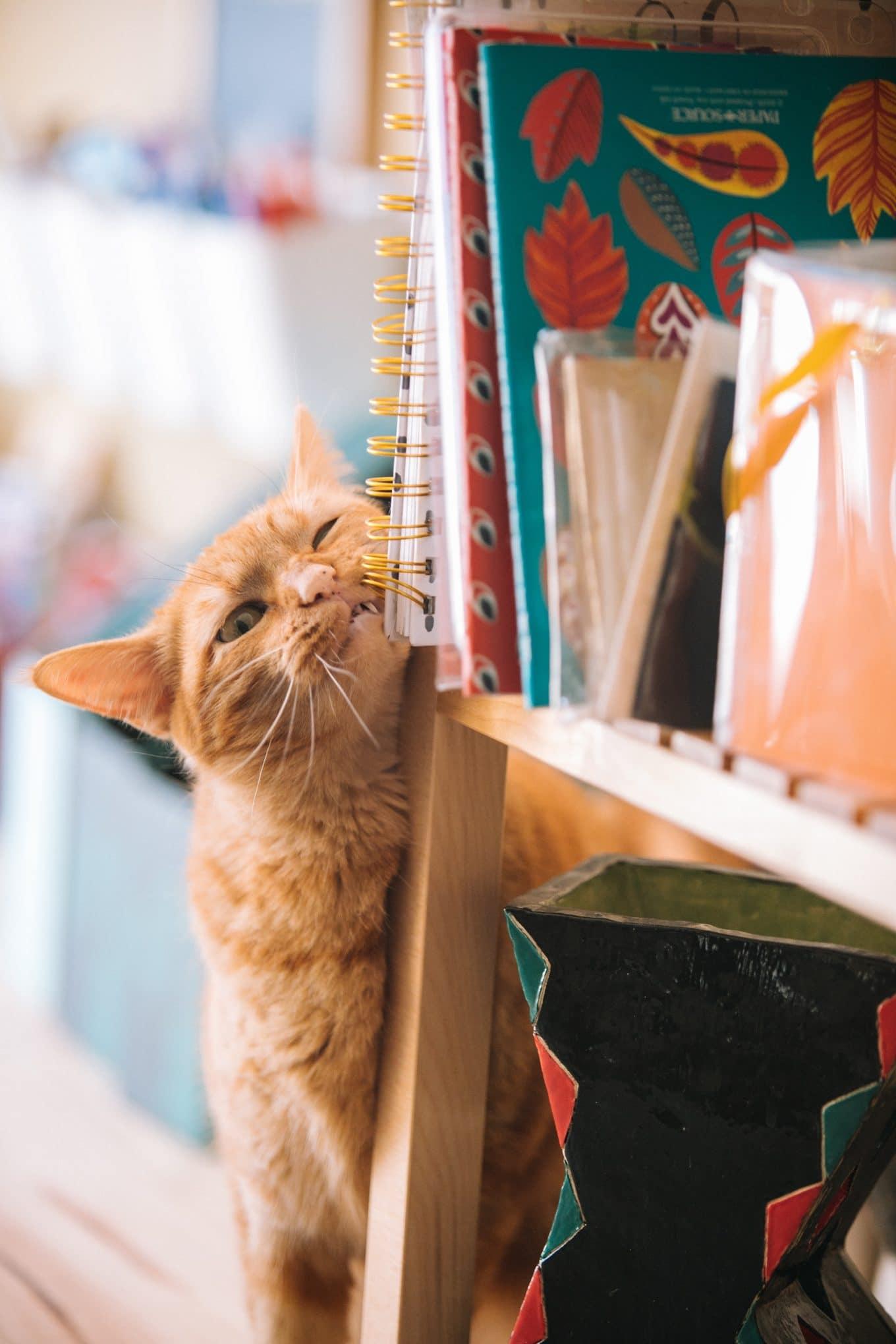 Katzen und das Markieren mit dem Kopf