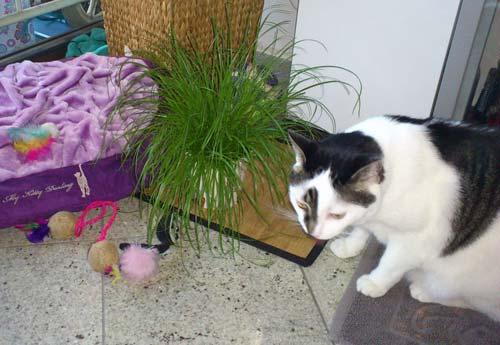 Stubentiger lieben Katzengras