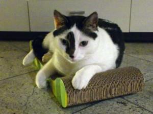 Hazel chillt dank Katzenminze auf dem Kratzbrett